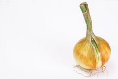 Bulbs of young onions Stock Image