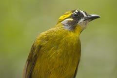 Bulbul à oreilles jaune Images libres de droits