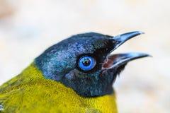 Bulbul à tête noire, atriceps de Pycnonotus Photos libres de droits