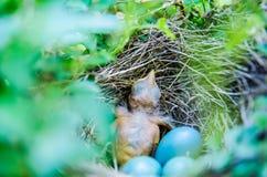 Bulbul младенцев Штриховатост-ушастый в гнезде Стоковые Изображения
