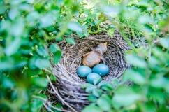 Bulbul младенцев Штриховатост-ушастый в гнезде Стоковые Фото