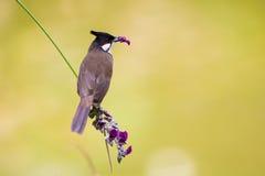 Bulbul barbu rouge mangeant la fleur Images libres de droits
