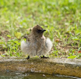 Bulbul after Bath Stock Images