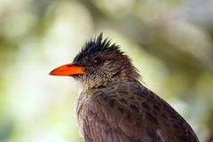 Bulbul Royalty Free Stock Photography