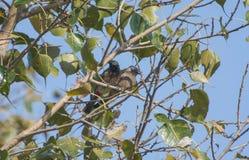 Bulbul bird Stock Photo