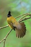 Bulbul bird Stock Images