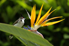 Bulbul on Bird of Paradise flower Royalty Free Stock Images