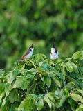 Red whiskered Bulbul birds perched on tree branch Royalty Free Stock Images