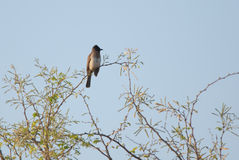 Bulbul on a branch Royalty Free Stock Photos