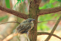 Bulbul chick Stock Images