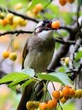 Bulbul cinese [sinensis di Pycnonotus] Fotografia Stock Libera da Diritti