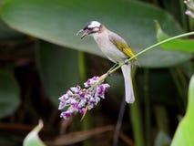 Bulbul cinese [sinensis di Pycnonotus] Immagini Stock