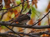 Bulbul com suíças vermelho - jocosus de Pycnonotus de Maurícias Foto de Stock