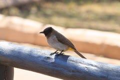 Bulbul commun d'Afrique du Sud, parc national de Pilanesberg photo stock