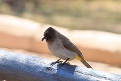Bulbul commun d'Afrique du Sud, parc national de Pilanesberg photographie stock