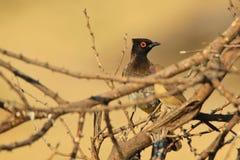 Bulbul con gli occhi rossi - fondo selvaggio africano dell'uccello - toni di colore della natura Immagine Stock