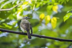 Bulbul dal color cinereo nel parco nazionale di Minneriya, Sri Lanka Fotografie Stock Libere da Diritti