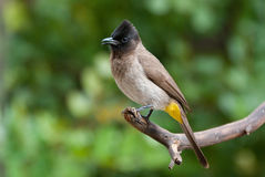 Bulbul dark capped black eyed. Bulbul adult breeding male in suburbia garden stock photos