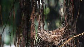 Bulbul e bebê Raia-orelhudos do pássaro no ninho filme