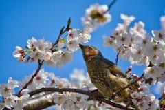 Bulbul e flores de cerejeira Brown-orelhudos Fotografia de Stock