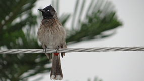 Bulbul on electricity wire. Bulbul on electricity wire, Cavalry Ground Lahore Pakistan Royalty Free Stock Image