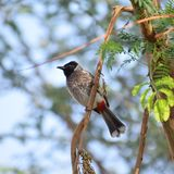 Bulbul exhal? rouge images stock