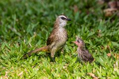 Bulbul feeding chicks Royalty Free Stock Photography
