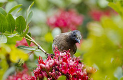 Bulbul feeding on flowers Royalty Free Stock Photos