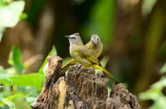 bulbul flavescens δρυοκίτρινο pycnonotus στοκ εικόνες