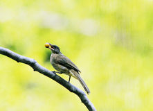 Bulbul with Fruit Stock Photos