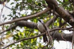 Bulbul Giallo-scaricato piccolo uccello Immagine Stock Libera da Diritti