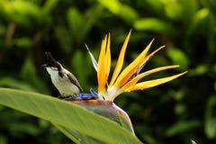 Bulbul (jocotus di Pycnonotus) sul fiore Fotografia Stock