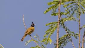 Bulbul Negro-con cresta en el top del árbol fotografía de archivo libre de regalías