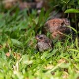 Bulbul nestling Stock Photo