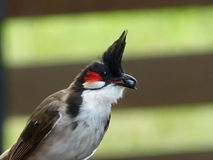 Bulbul parent with food for the fledging Royalty Free Stock Images