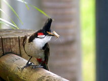 Bulbul parent with food for the fledging Royalty Free Stock Photo