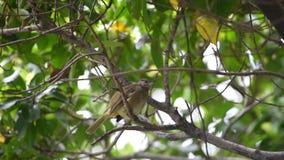 Bulbul Raya-espigado del pájaro en árbol en la naturaleza salvaje almacen de metraje de vídeo