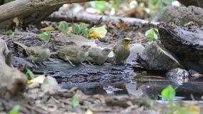 Bulbul Raya-espigado y pájaros Raya-throated del Bulbul que comen el agua en la charca almacen de video