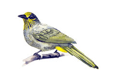 Bulbul Raya-throated Libre Illustration