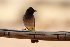 Bulbul Red-eyed africain Images libres de droits