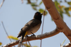 Bulbul Red-eyed africain Photos libres de droits