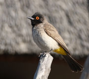 Bulbul Red-eyed africano fotos de stock royalty free