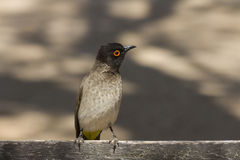 Bulbul Red-eyed africano fotografie stock