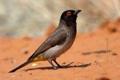 Bulbul Red-eyed, désert de Kalahari Images libres de droits