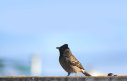 Bulbul Royalty Free Stock Photos