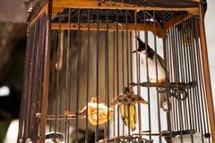 Bulbul Rojo-patilludo en la jaula de pájaros Fotografía de archivo