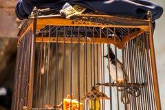 Bulbul Rojo-patilludo en la jaula de pájaros Foto de archivo libre de regalías