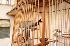 Bulbul Rojo-patilludo en la jaula de pájaros Fotos de archivo