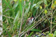 bulbul Rouge-barbu dans les bosquets tropicaux Chamarel, Îles Maurice Images stock