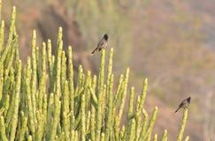 Bulbul Rouge-exhalé (cafer de Pycnonotus) Images libres de droits
